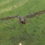 Vol au dessus d'un leurre de Grand-Duc